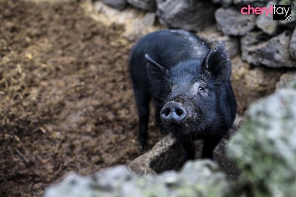 Black Pork BBQ (5) (600x400)